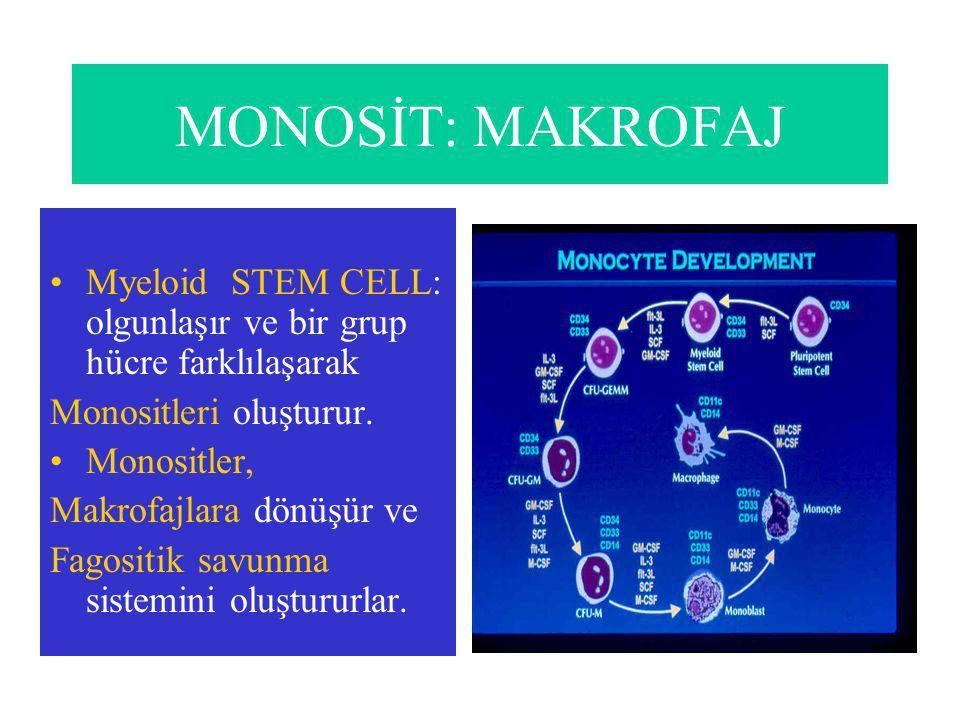 MONOSİT: MAKROFAJ Myeloid STEM CELL: olgunlaşır ve bir grup hücre farklılaşarak Monositleri oluşturur.