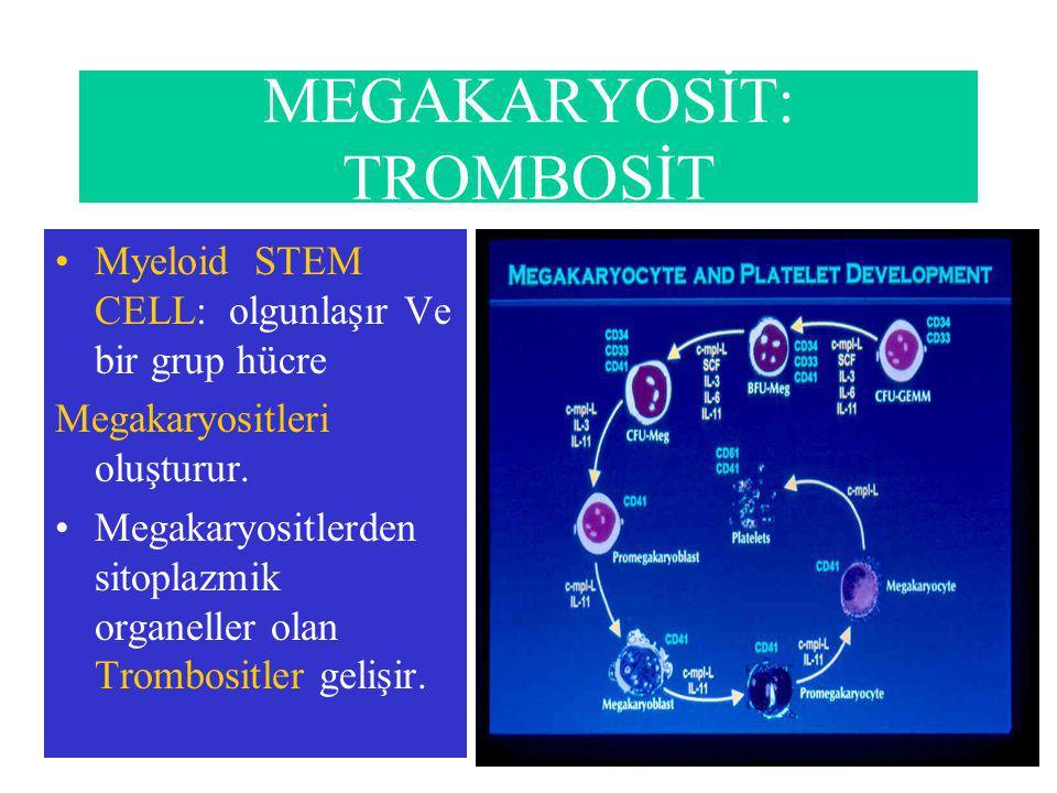 MEGAKARYOSİT: TROMBOSİT Myeloid STEM CELL: olgunlaşır Ve bir grup hücre Megakaryositleri oluşturur.