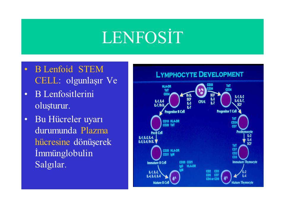 B LENFOSİT > PLAZMA HÜCRESİ B Lenfositler uyarı durumunda Plazma hücresine dönüşür ve İmmünglobulin Salgılar.