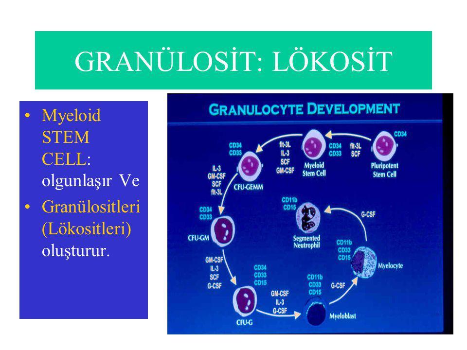 GRANÜLOSİT: LÖKOSİT Myeloid STEM CELL: olgunlaşır Ve Granülositleri (Lökositleri) oluşturur.