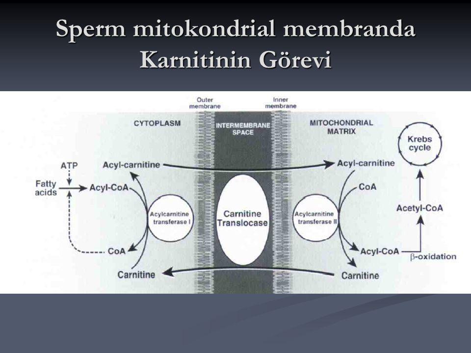 Karnitin: Enerji kaynağı Sperm olgunlaşma, kapasitasyon için yüksek oranda enerjiye ihtiyaç duyar.