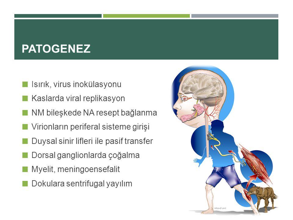 PATOGENEZ Isırık, virus inokülasyonu Kaslarda viral replikasyon NM bileşkede NA resept bağlanma Virionların periferal sisteme girişi Duysal sinir lifleri ile pasif transfer Dorsal ganglionlarda çoğalma Myelit, meningoensefalit Dokulara sentrifugal yayılım