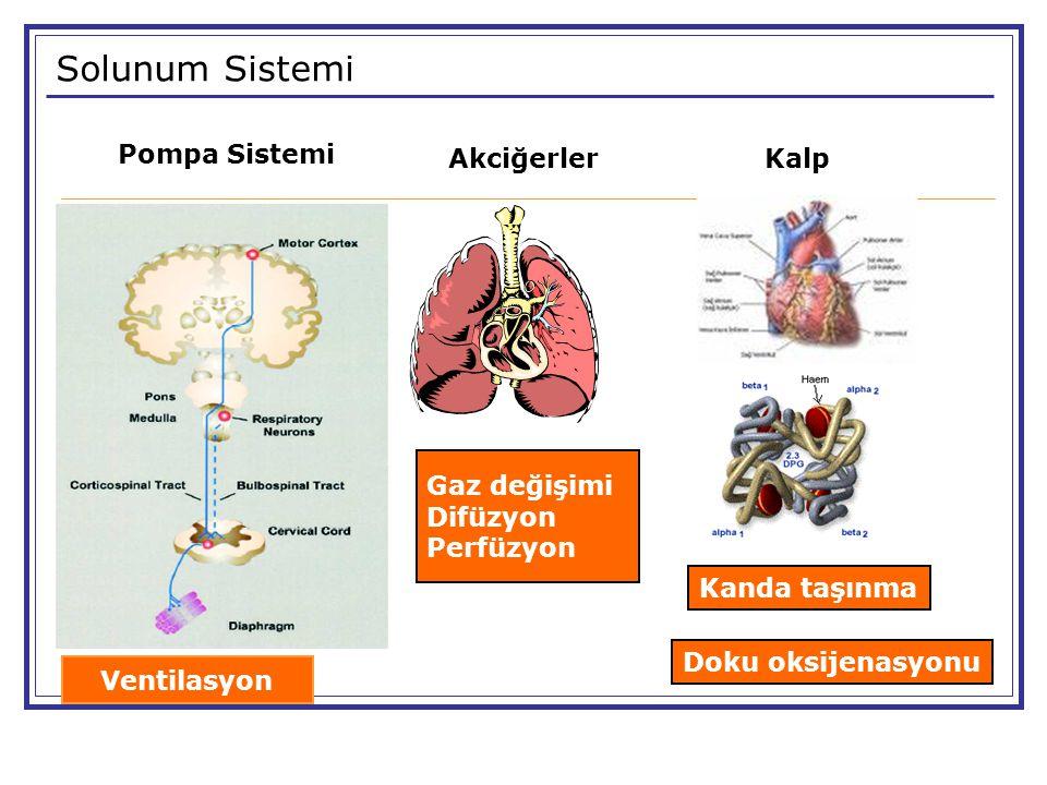 Solunum Sistemi Akciğerler Pompa Sistemi Gaz değişimi Difüzyon Perfüzyon Ventilasyon Kalp Kanda taşınma Doku oksijenasyonu