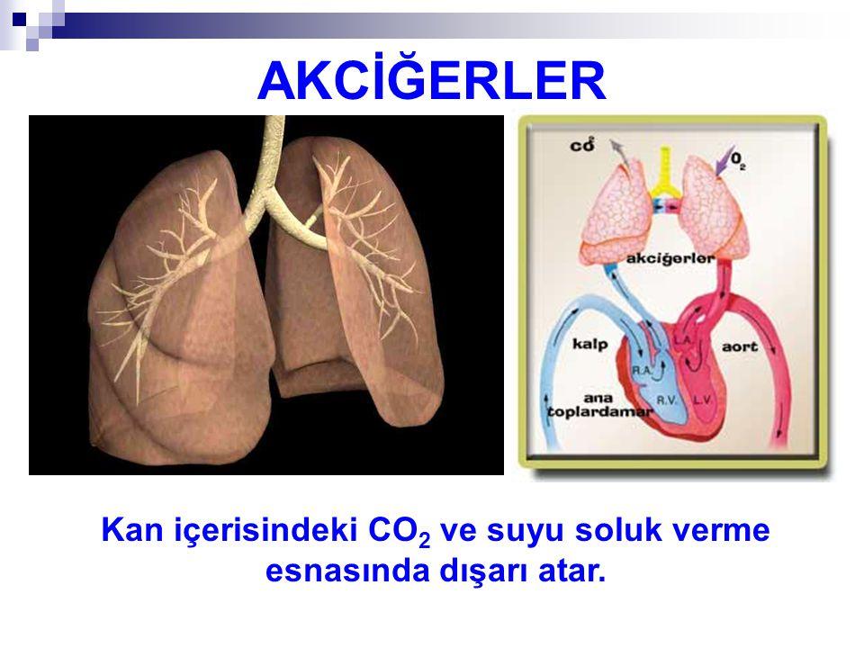 AKCİĞERLER Kan içerisindeki CO 2 ve suyu soluk verme esnasında dışarı atar.