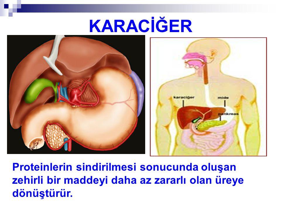 KARACİĞER Proteinlerin sindirilmesi sonucunda oluşan zehirli bir maddeyi daha az zararlı olan üreye dönüştürür.