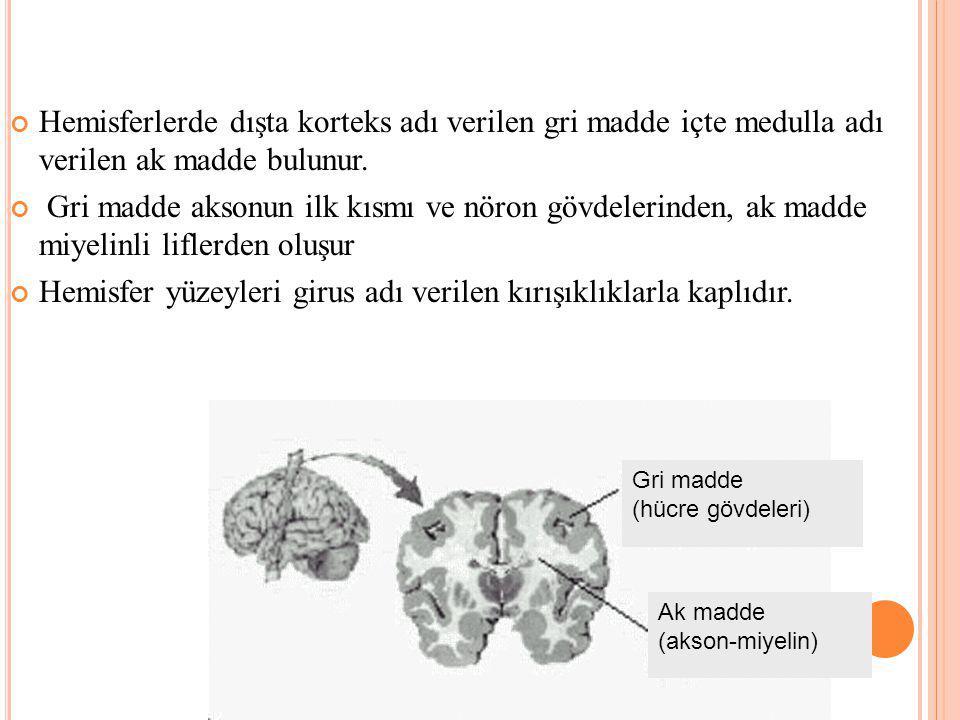 Hemisferlerde dışta korteks adı verilen gri madde içte medulla adı verilen ak madde bulunur.