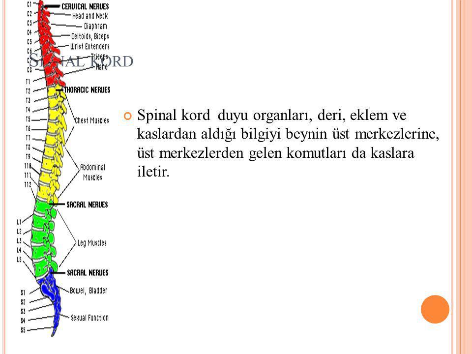 S PINAL KORD Spinal kord duyu organları, deri, eklem ve kaslardan aldığı bilgiyi beynin üst merkezlerine, üst merkezlerden gelen komutları da kaslara iletir.