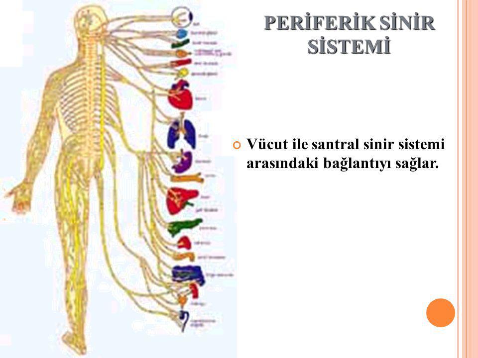 PERİFERİK SİNİR SİSTEMİ Vücut ile santral sinir sistemi arasındaki bağlantıyı sağlar.