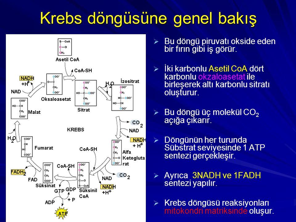 Krebs döngüsüne genel bakış   Bu döngü piruvatı okside eden bir fırın gibi iş görür.   İki karbonlu Asetil CoA dört karbonlu okzaloasetat ile birl