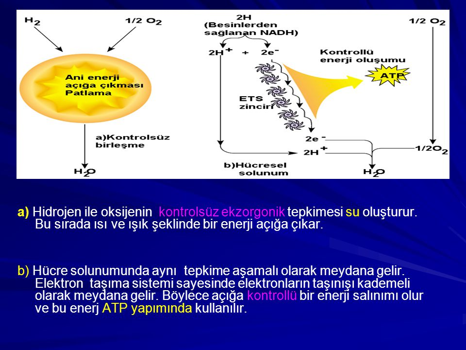 a) Hidrojen ile oksijenin kontrolsüz ekzorgonik tepkimesi su oluşturur. Bu sırada ısı ve ışık şeklinde bir enerji açığa çıkar. b) Hücre solunumunda ay