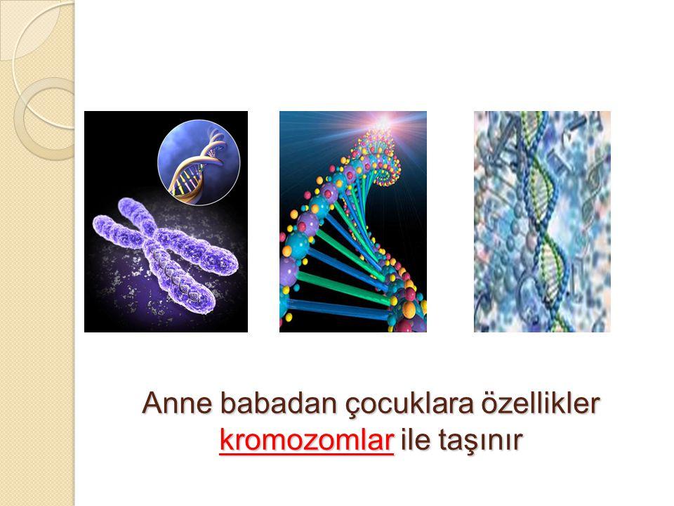 Anne babadan çocuklara özellikler kromozomlar ile taşınır