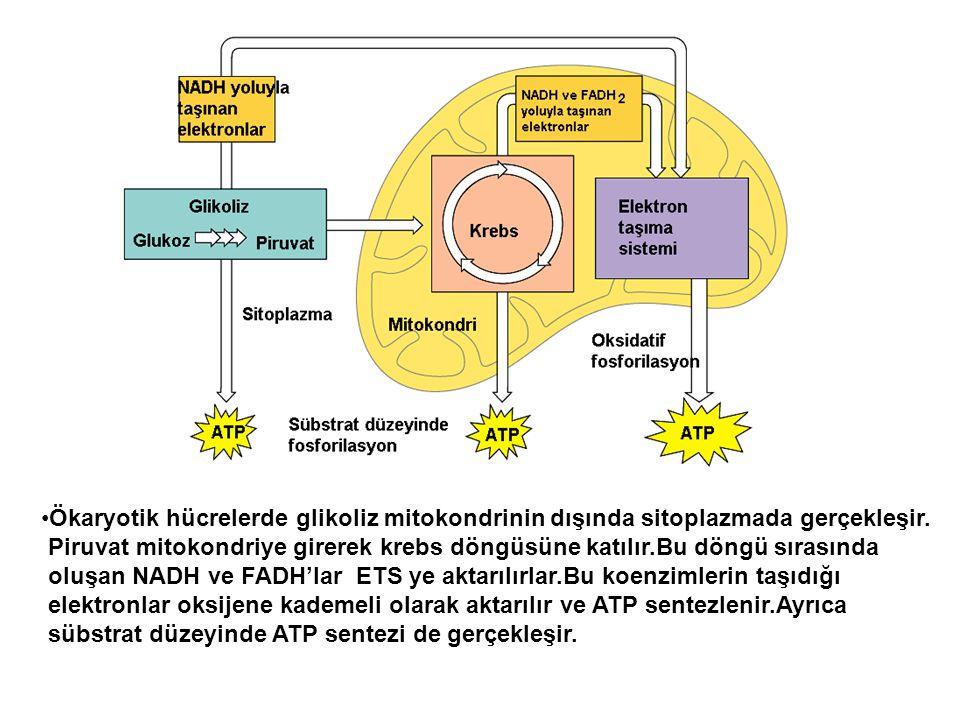 Ökaryotik hücrelerde glikoliz mitokondrinin dışında sitoplazmada gerçekleşir. Piruvat mitokondriye girerek krebs döngüsüne katılır.Bu döngü sırasında