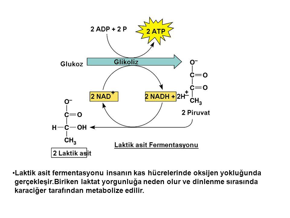 Laktik asit fermentasyonu insanın kas hücrelerinde oksijen yokluğunda gerçekleşir.Biriken laktat yorgunluğa neden olur ve dinlenme sırasında karaciğer