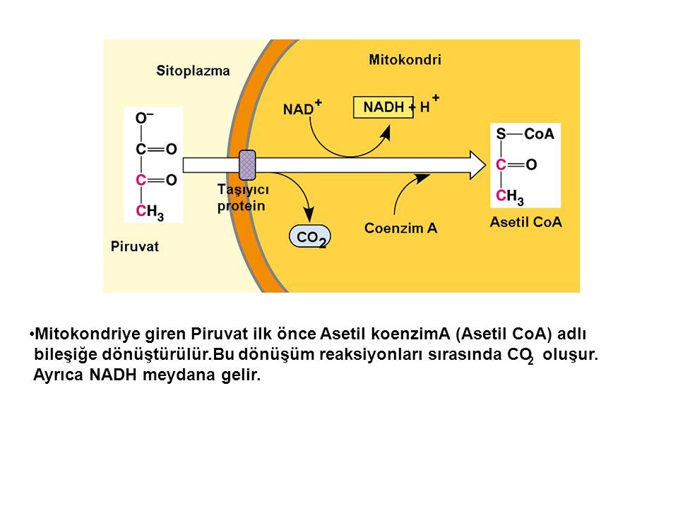 Mitokondriye giren Piruvat ilk önce Asetil koenzimA (Asetil CoA) adlı bileşiğe dönüştürülür.Bu dönüşüm reaksiyonları sırasında CO oluşur. Ayrıca NADH