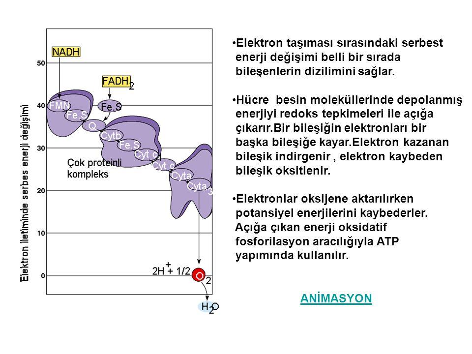 Elektron taşıması sırasındaki serbest enerji değişimi belli bir sırada bileşenlerin dizilimini sağlar. Hücre besin moleküllerinde depolanmış enerjiyi
