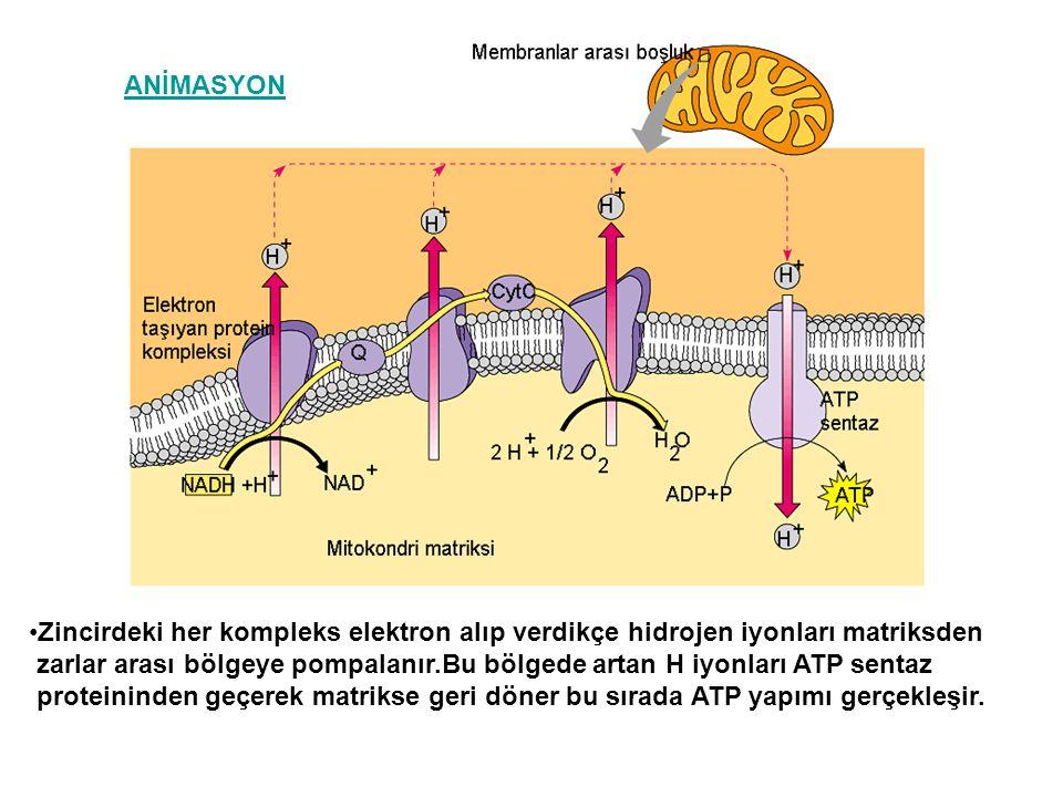 Zincirdeki her kompleks elektron alıp verdikçe hidrojen iyonları matriksden zarlar arası bölgeye pompalanır.Bu bölgede artan H iyonları ATP sentaz pro