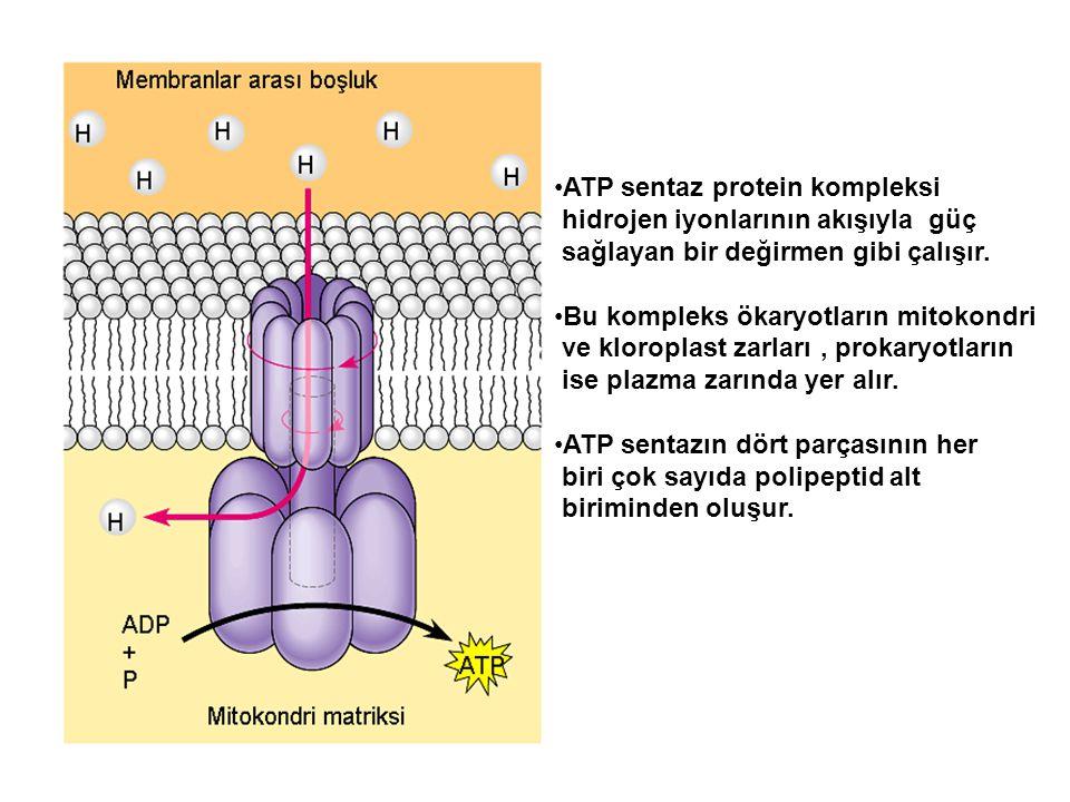 ATP sentaz protein kompleksi hidrojen iyonlarının akışıyla güç sağlayan bir değirmen gibi çalışır. Bu kompleks ökaryotların mitokondri ve kloroplast z