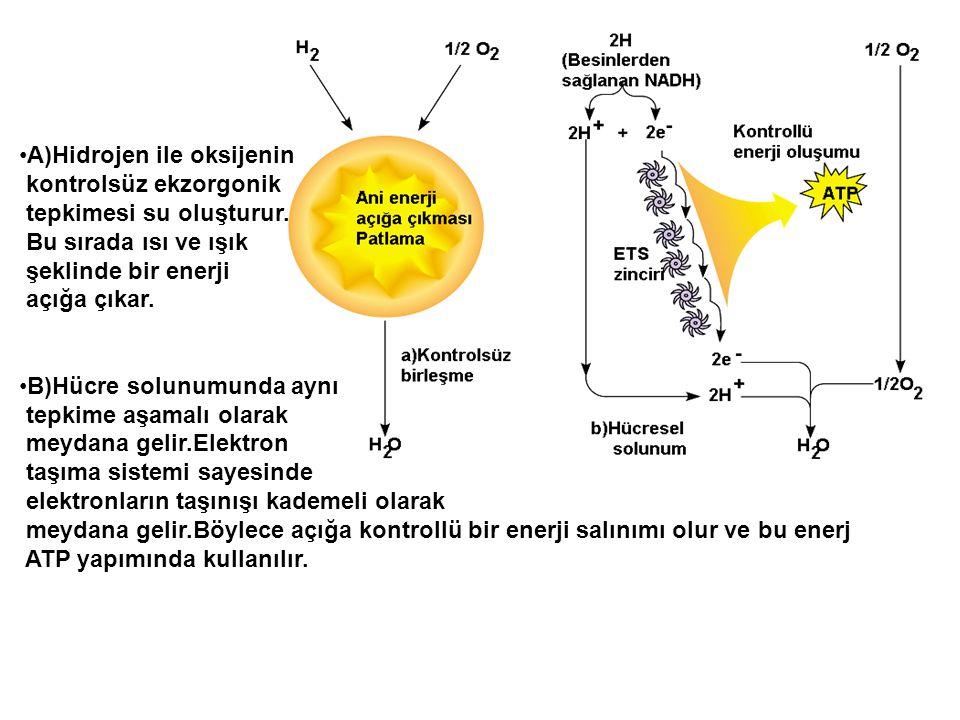 A)Hidrojen ile oksijenin kontrolsüz ekzorgonik tepkimesi su oluşturur. Bu sırada ısı ve ışık şeklinde bir enerji açığa çıkar. B)Hücre solunumunda aynı