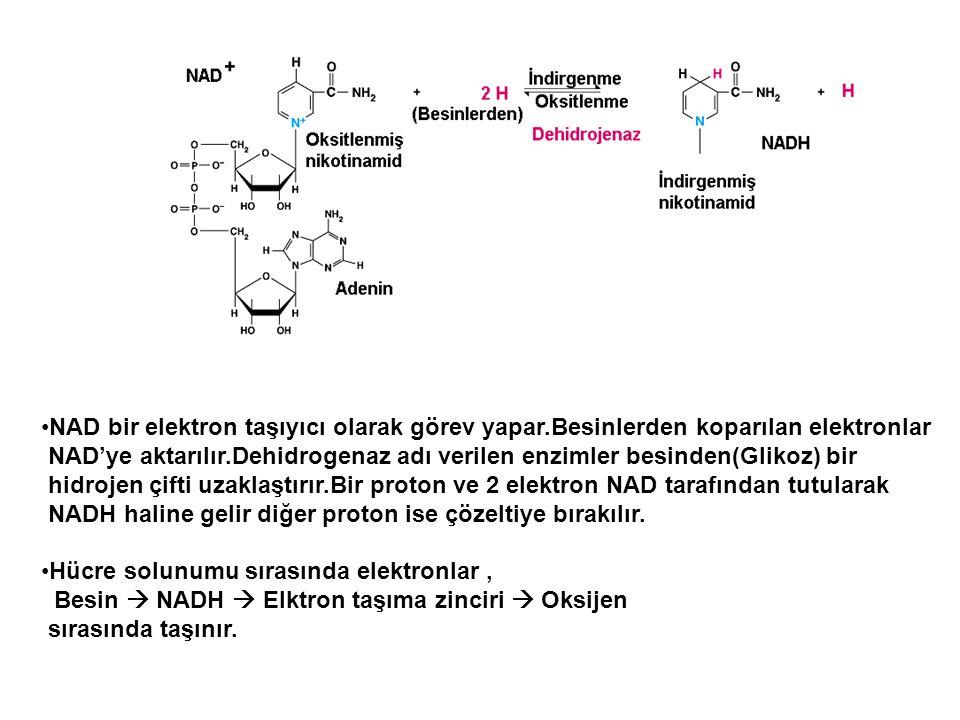 NAD bir elektron taşıyıcı olarak görev yapar.Besinlerden koparılan elektronlar NAD'ye aktarılır.Dehidrogenaz adı verilen enzimler besinden(Glikoz) bir