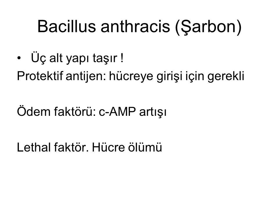 Bacillus anthracis (Şarbon) Üç alt yapı taşır ! Protektif antijen: hücreye girişi için gerekli Ödem faktörü: c-AMP artışı Lethal faktör. Hücre ölümü