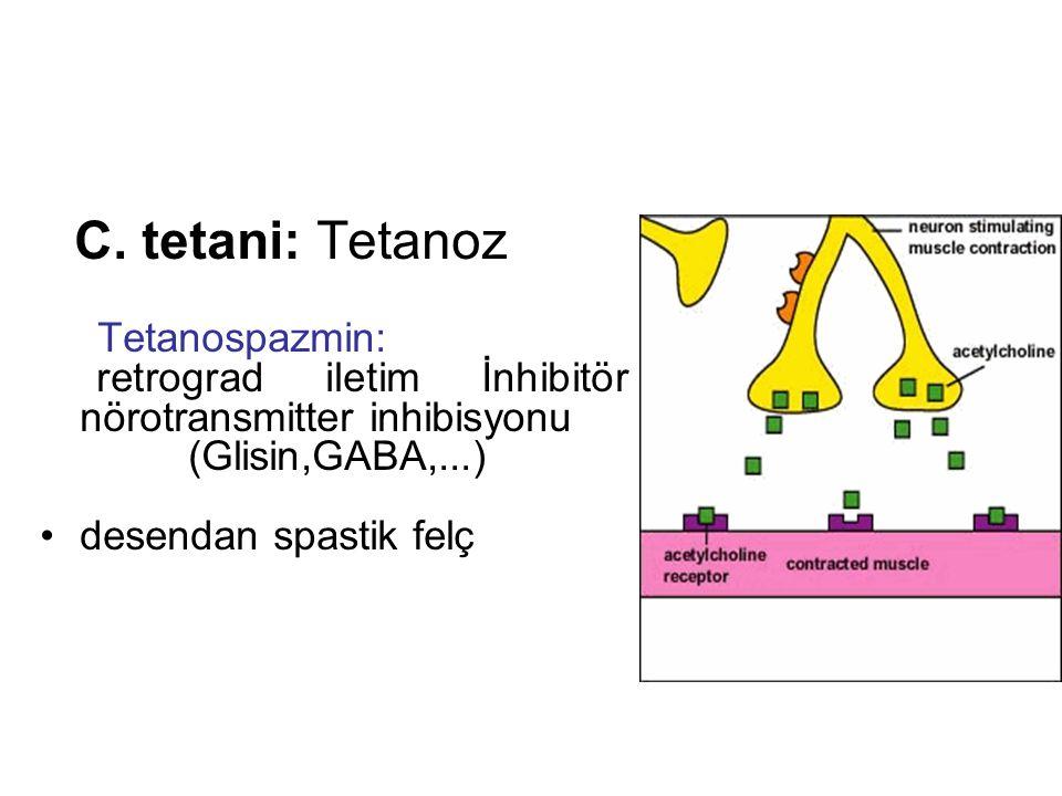 C. tetani: Tetanoz Tetanospazmin: retrograd iletim İnhibitör nörotransmitter inhibisyonu (Glisin,GABA,...) desendan spastik felç
