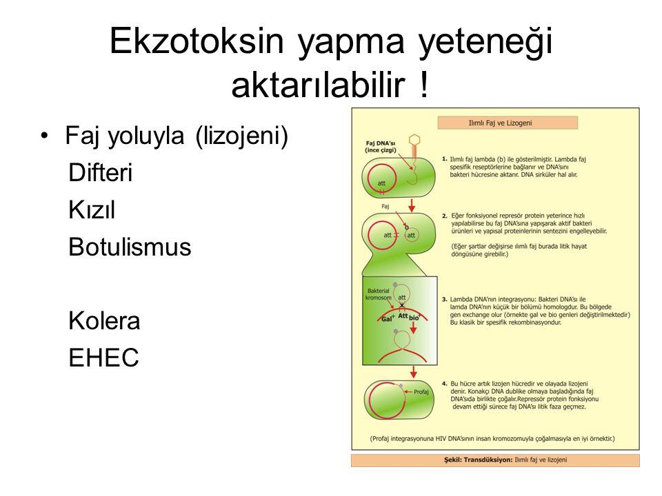 Ekzotoksin yapma yeteneği aktarılabilir ! Faj yoluyla (lizojeni) Difteri Kızıl Botulismus Kolera EHEC