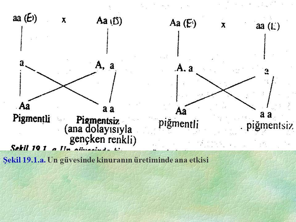 Şekil 19.1.a. Un güvesinde kinuranın üretiminde ana etkisi
