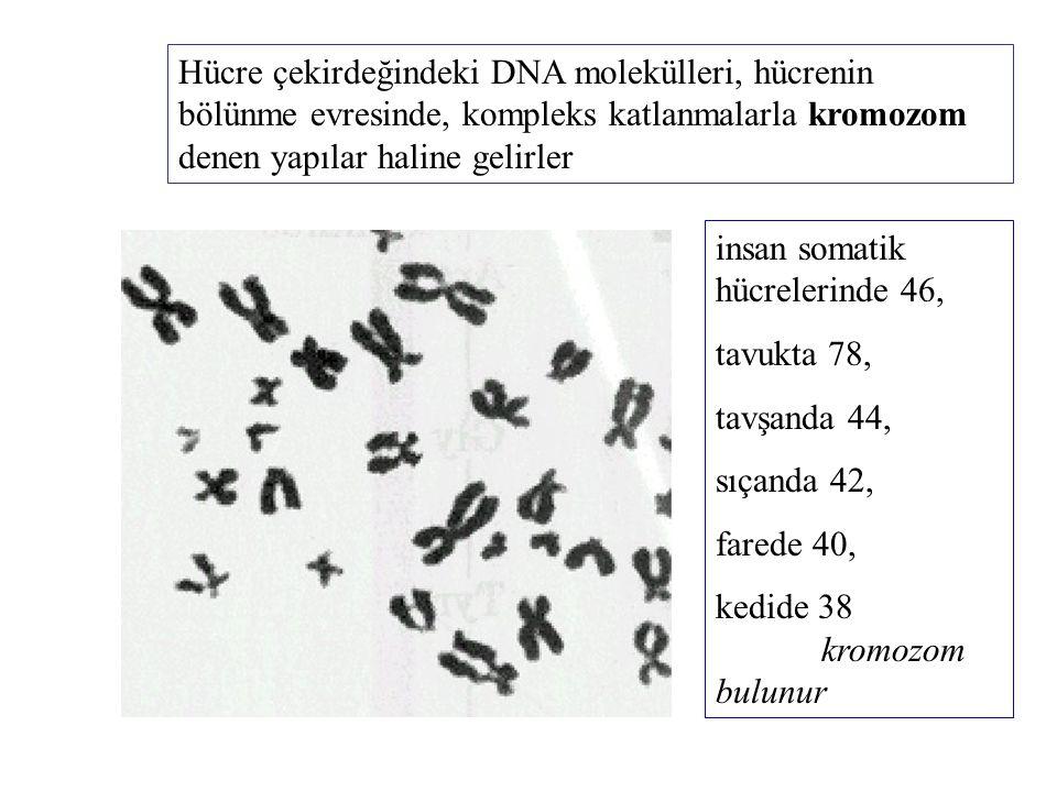 Hücre çekirdeğindeki DNA molekülleri, hücrenin bölünme evresinde, kompleks katlanmalarla kromozom denen yapılar haline gelirler insan somatik hücreler