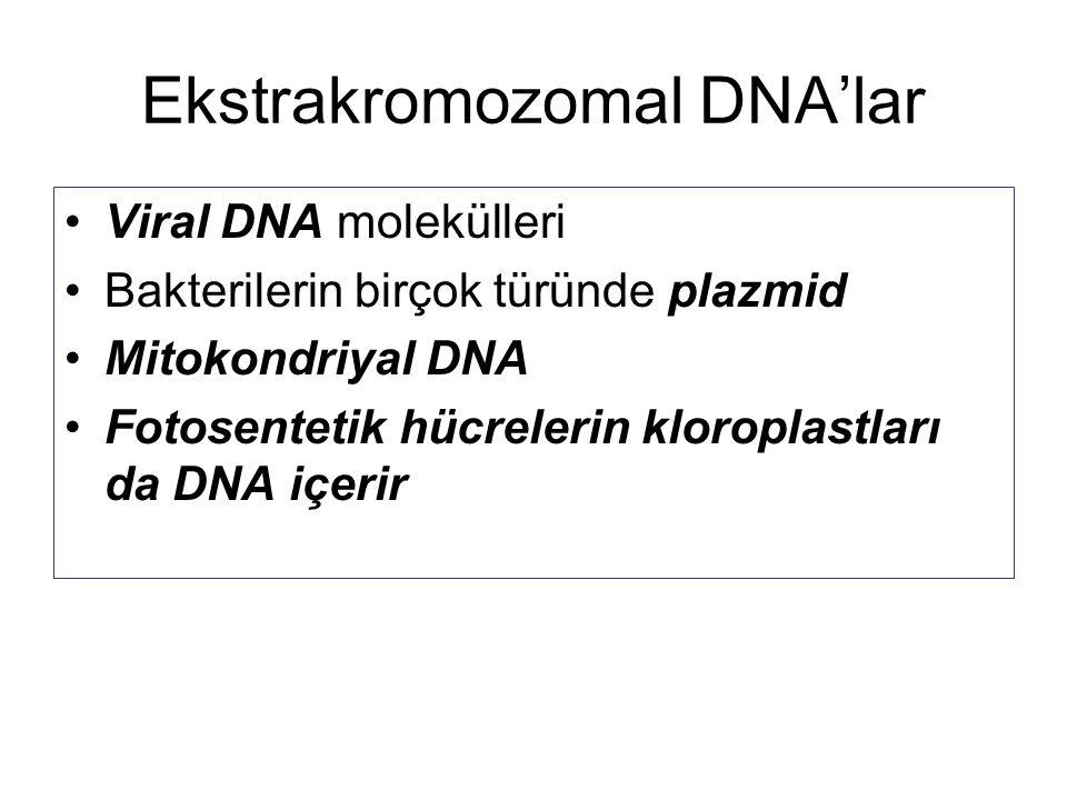 Ekstrakromozomal DNA'lar Viral DNA molekülleri Bakterilerin birçok türünde plazmid Mitokondriyal DNA Fotosentetik hücrelerin kloroplastları da DNA içe