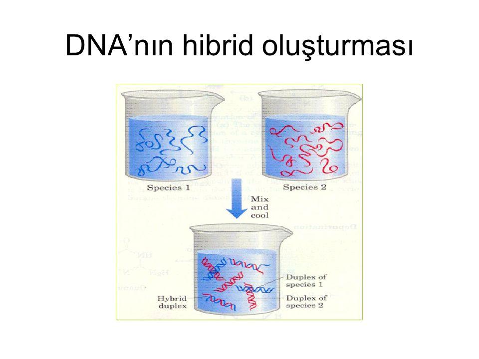 DNA'nın hibrid oluşturması