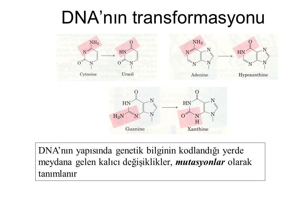 DNA'nın transformasyonu DNA'nın yapısında genetik bilginin kodlandığı yerde meydana gelen kalıcı değişiklikler, mutasyonlar olarak tanımlanır