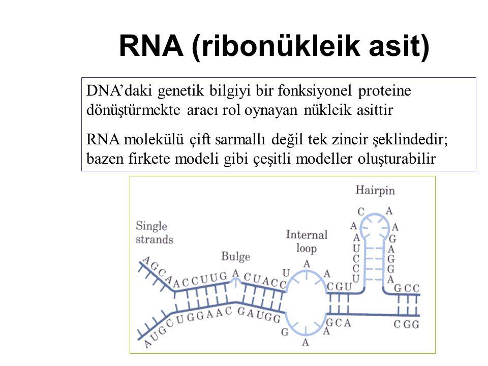 RNA (ribonükleik asit) DNA'daki genetik bilgiyi bir fonksiyonel proteine dönüştürmekte aracı rol oynayan nükleik asittir RNA molekülü çift sarmallı de