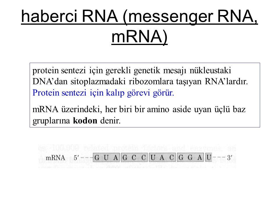haberci RNA (messenger RNA, mRNA) protein sentezi için gerekli genetik mesajı nükleustaki DNA'dan sitoplazmadaki ribozomlara taşıyan RNA'lardır. Prote