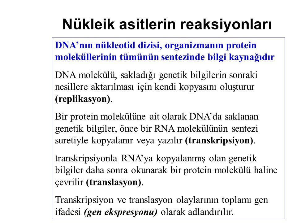 Nükleik asitlerin reaksiyonları DNA'nın nükleotid dizisi, organizmanın protein moleküllerinin tümünün sentezinde bilgi kaynağıdır DNA molekülü, saklad