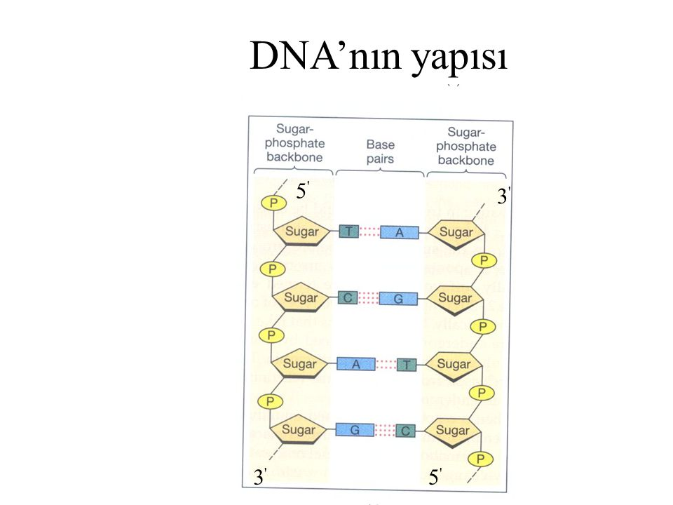 1953'te James Watson ve Francis Crick tarafından ileri sürülen üç boyutlu DNA yapısı modeline göre DNA, sağa dönen çift heliks (ikili sarmal) oluşturmak üzere aynı eksen etrafında iki helezon şeklinde DNA zincir kangalından (polinükleotid zinciri) oluşmuştur H-DNA