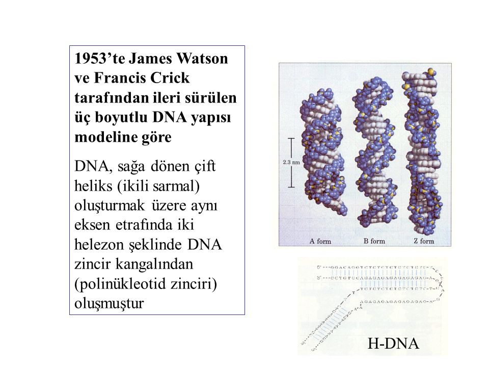 1953'te James Watson ve Francis Crick tarafından ileri sürülen üç boyutlu DNA yapısı modeline göre DNA, sağa dönen çift heliks (ikili sarmal) oluşturm