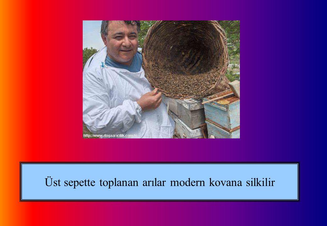 Üst sepette toplanan arılar modern kovana silkilir