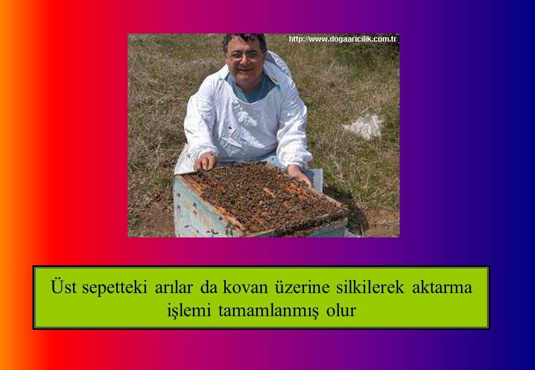 Üst sepetteki arılar da kovan üzerine silkilerek aktarma işlemi tamamlanmış olur