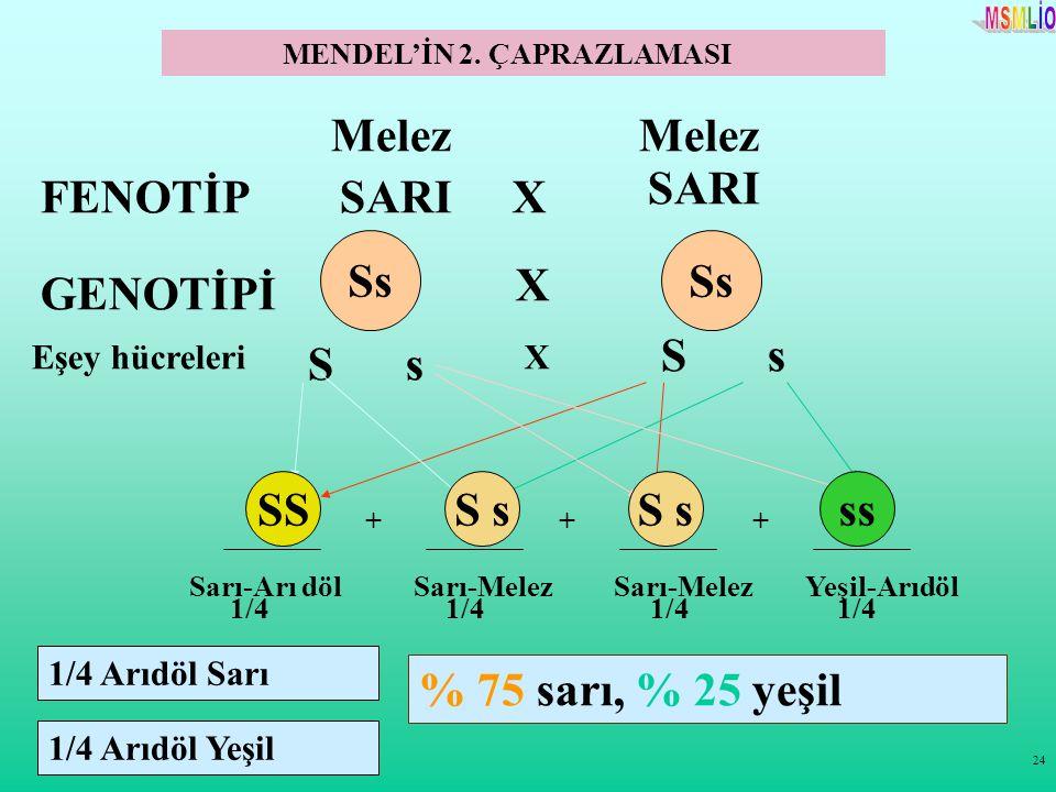 24 Melez FENOTİPSARI X GENOTİPİ Eşey hücreleri S X S +++ 1/4 % 75 sarı, % 25 yeşil X s s SSssS s MENDEL'İN 2. ÇAPRAZLAMASI Sarı-Arı dölSarı-Melez Yeşi
