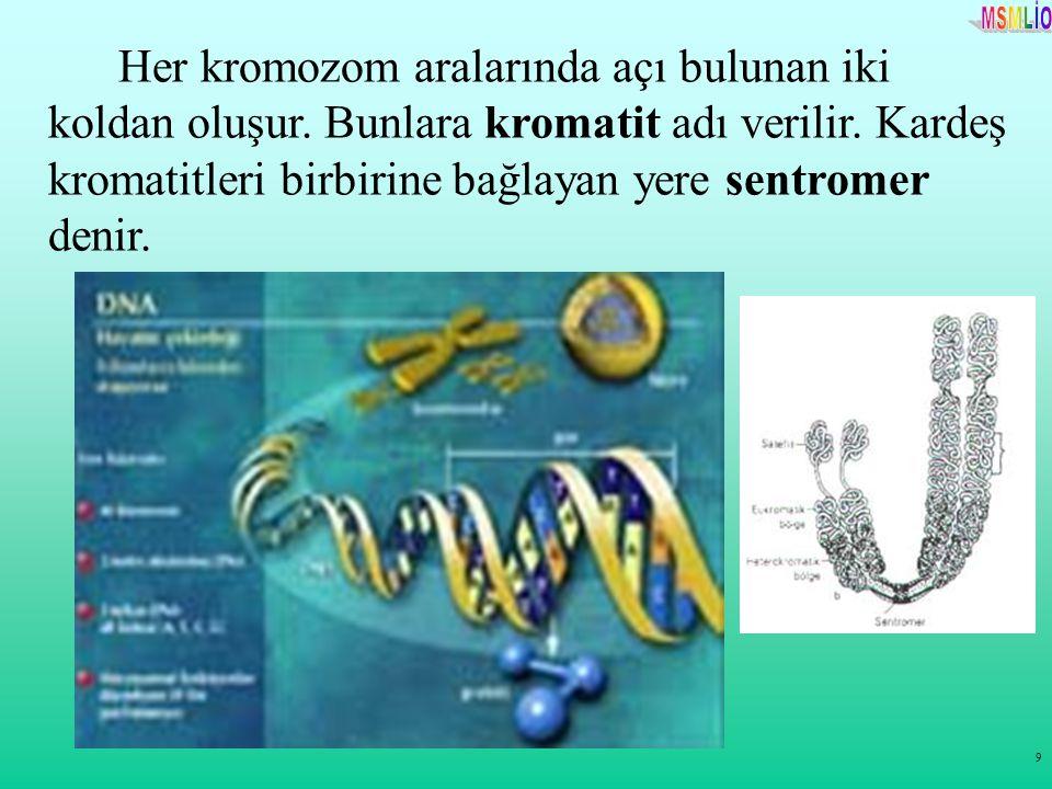 9 Her kromozom aralarında açı bulunan iki koldan oluşur. Bunlara kromatit adı verilir. Kardeş kromatitleri birbirine bağlayan yere sentromer denir.
