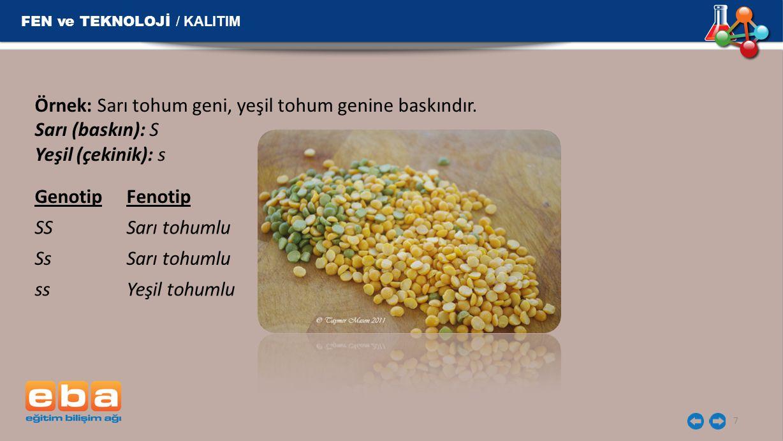 Örnek: Sarı tohum geni, yeşil tohum genine baskındır. Sarı (baskın): S Yeşil (çekinik): s 7 FEN ve TEKNOLOJİ / KALITIM GenotipFenotip SS Sarı tohumlu