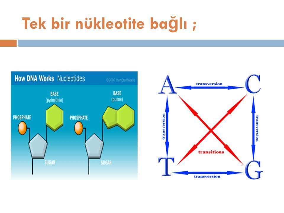 Tek bir nükleotite ba ğ lı ;
