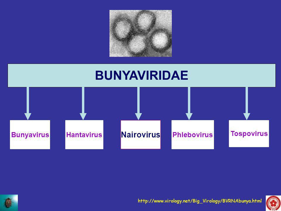 BUNYAVIRIDAE BunyavirusHantavirus Nairovirus Phlebovirus Tospovirus http://www.virology.net/Big_Virology/BVRNAbunya.html