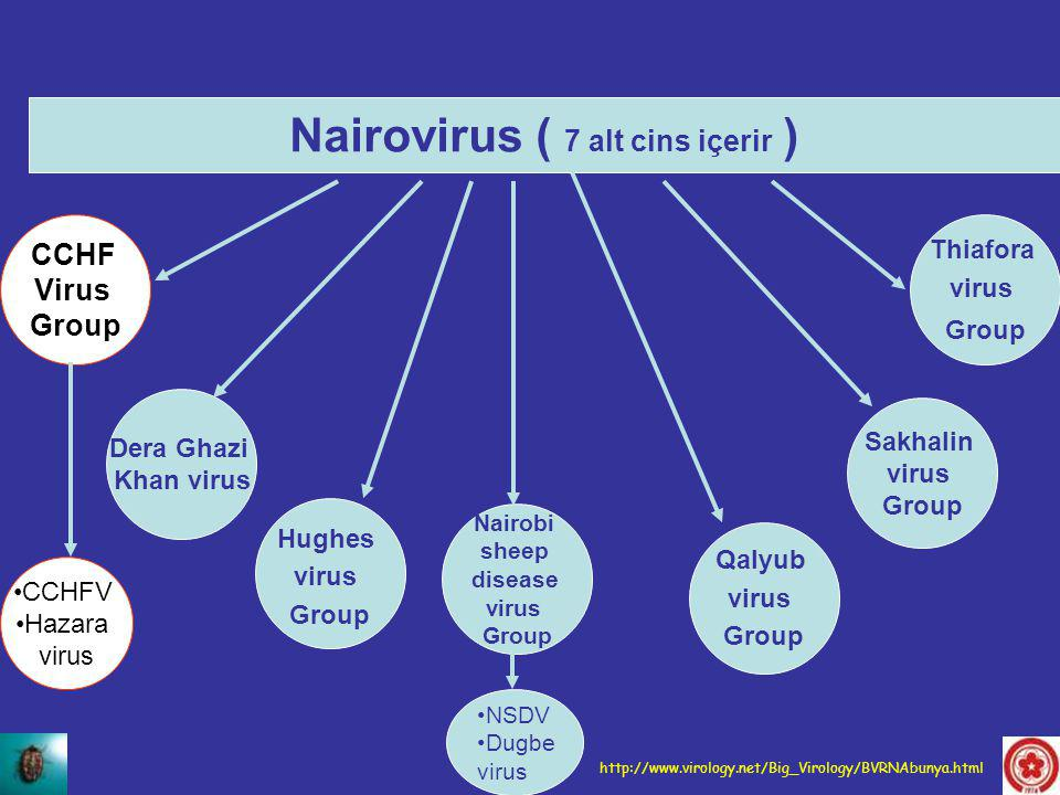 Nairovirus ( 7 alt cins içerir ) CCHF Virus Group Dera Ghazi Khan virus Hughes virus Group Nairobi sheep disease virus Group Qalyub virus Group Sakhal