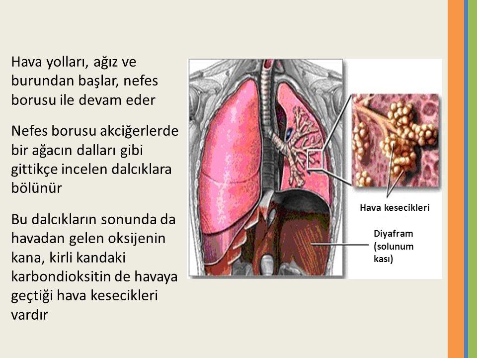 Hava yolları, ağız ve burundan başlar, nefes borusu ile devam eder Nefes borusu akciğerlerde bir ağacın dalları gibi gittikçe incelen dalcıklara bölünür Bu dalcıkların sonunda da havadan gelen oksijenin kana, kirli kandaki karbondioksitin de havaya geçtiği hava kesecikleri vardır Hava kesecikleri Diyafram (solunum kası)