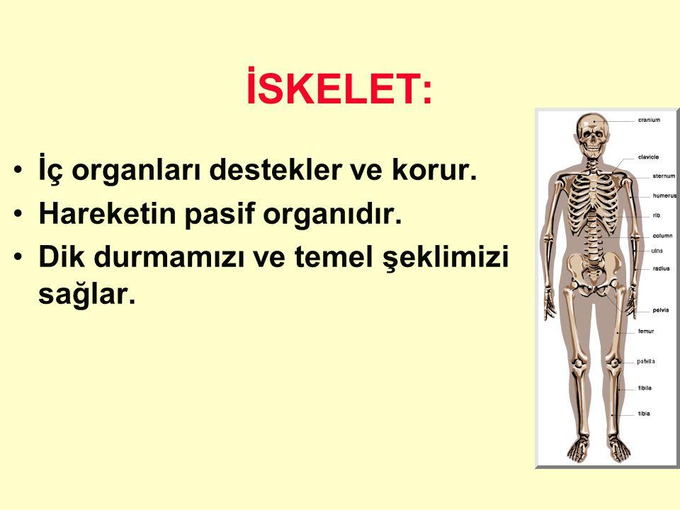 İSKELET: İç organları destekler ve korur. Hareketin pasif organıdır. Dik durmamızı ve temel şeklimizi sağlar.