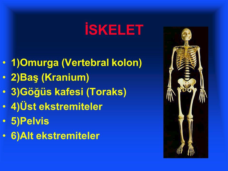 İSKELET 1)Omurga (Vertebral kolon) 2)Baş (Kranium) 3)Göğüs kafesi (Toraks) 4)Üst ekstremiteler 5)Pelvis 6)Alt ekstremiteler