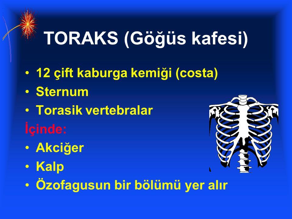 TORAKS (Göğüs kafesi) 12 çift kaburga kemiği (costa) Sternum Torasik vertebralar İçinde: Akciğer Kalp Özofagusun bir bölümü yer alır