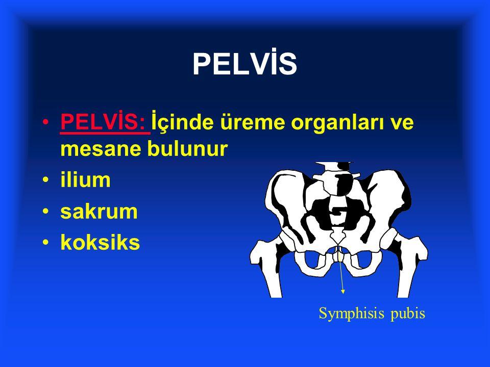 PELVİS PELVİS: İçinde üreme organları ve mesane bulunur ilium sakrum koksiks Symphisis pubis