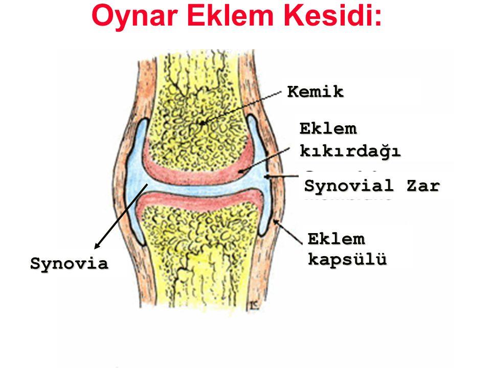 Kemik Eklemkıkırdağı Eklemkapsülü Synovia Synovial Zar Oynar Eklem Kesidi: